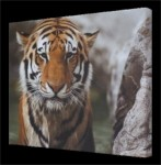 Framed Canvas Tiger Print
